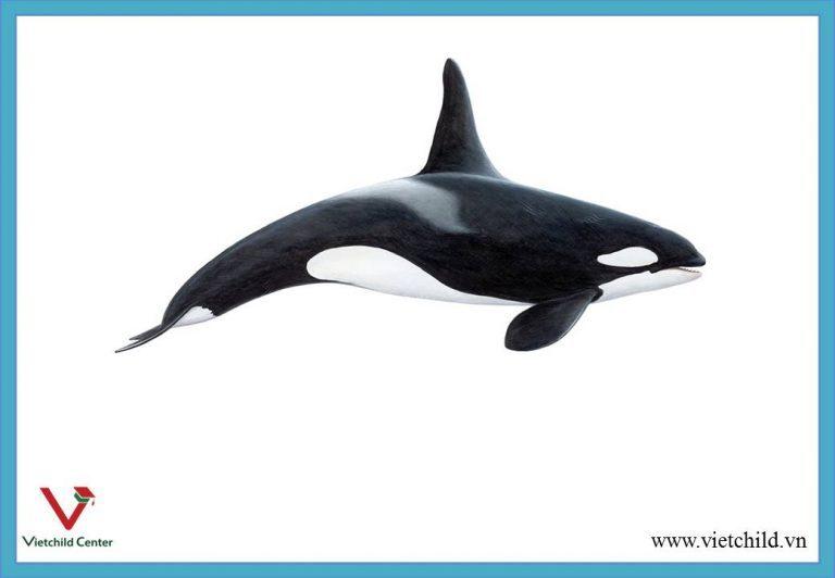 killer-whale